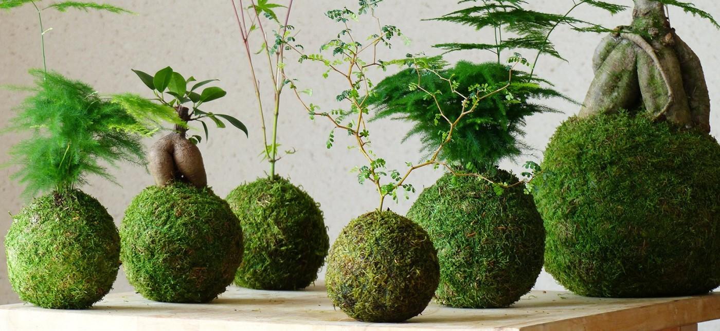 Imatges de plantes kokedama